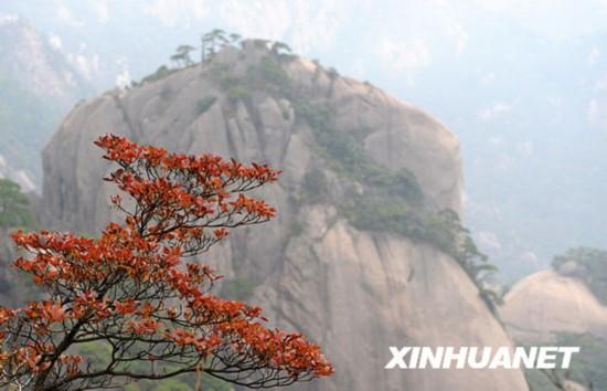 金秋时节,安徽黄山风景区秋意渐浓,各色秋叶与奇山怪石相映成趣.