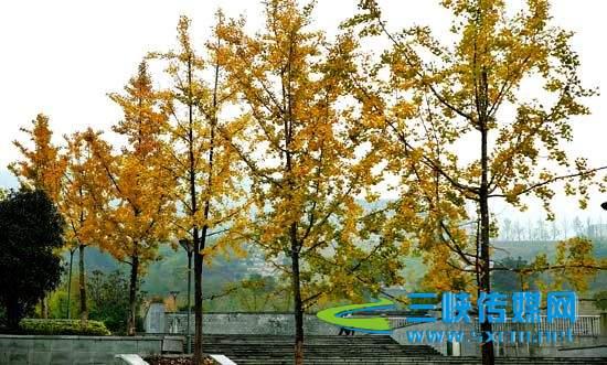 成都市区锦江桥两侧枫叶再度泛红 重庆万州滨江环湖的银杏 河北三河市