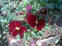 效果图 黄山/安徽黄山常见的花卉...