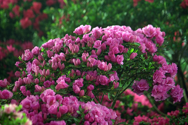 庭院设计方案 手绘表现 世界园林植物与花卉百科全书 常见观赏树木与