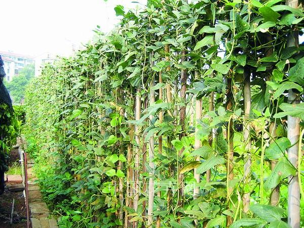 藤蔓植物用于垂直绿化 - 园林资讯 - 中国园林网