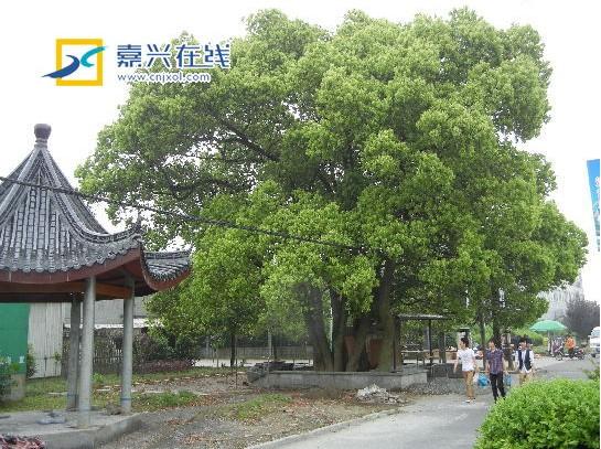 """嘉兴12棵大树连根而生成""""明星"""" 老人以为神仙来祭拜   园林资讯"""