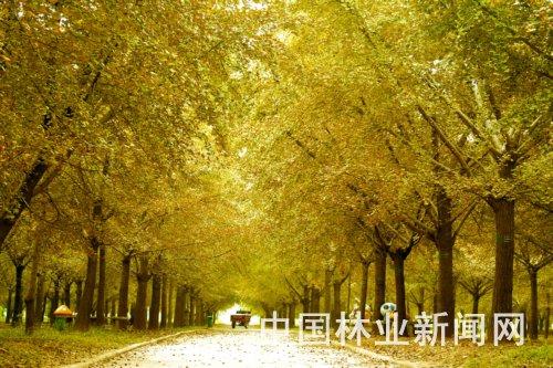 山东:郯城森林城市建设突出银杏景观特色 - 园林资讯
