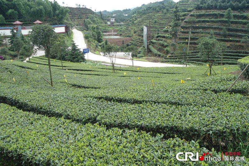 四川高县罗场镇豆子山生态茶园风景区