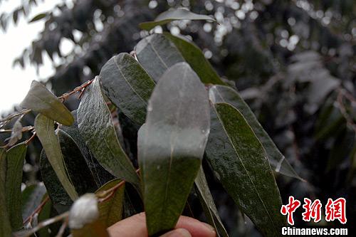 湖南:安仁公路绿化树木遭遇冰冻 除冰确保树木安全过冬 - 园林资讯