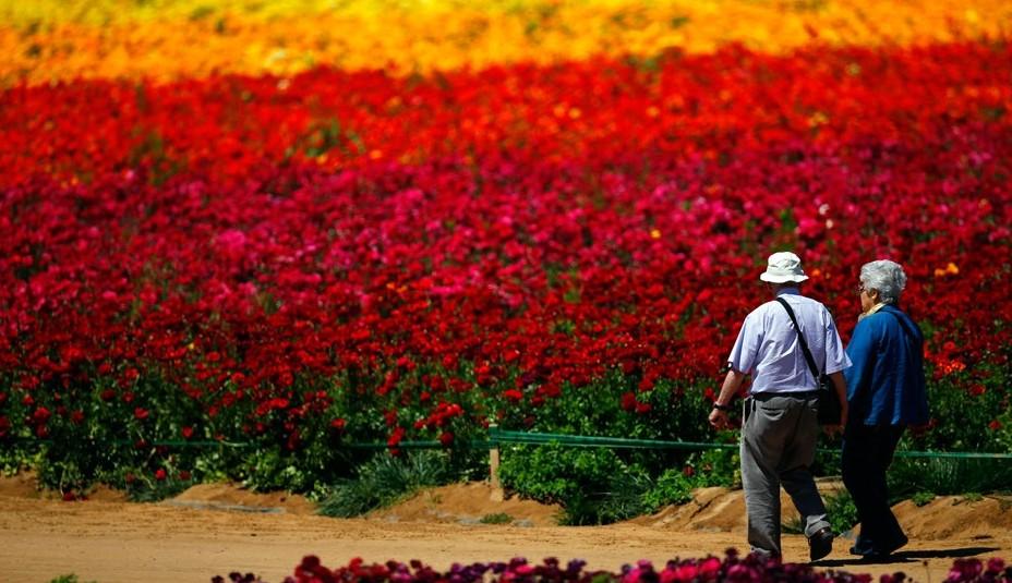 卡尔斯班花海号称世界十大著名花海之一,每年春季三月至五月间绽放